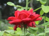 今月の園芸作業 バラ